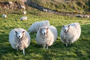 Wer Island mit dem Auto erkundet, sollte angepasst fahren. Schafe können jeder Zeit auf der Straße stehen.