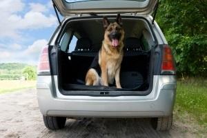 Hund wird im Kofferraum transportiert